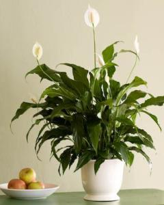 Beautiful The Peace Lily